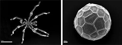 Habitus and isolated egg of Callipallene emaciata