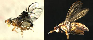 Euthycera fumigata, Anomoia purmunda