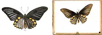 Esper-Typus als Abbildung und im Original