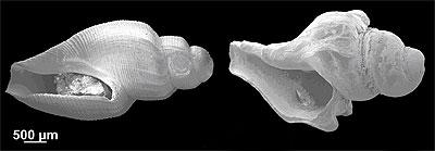 Deep water gastropods from the Antarctica