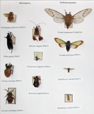 True bugs and cicadas